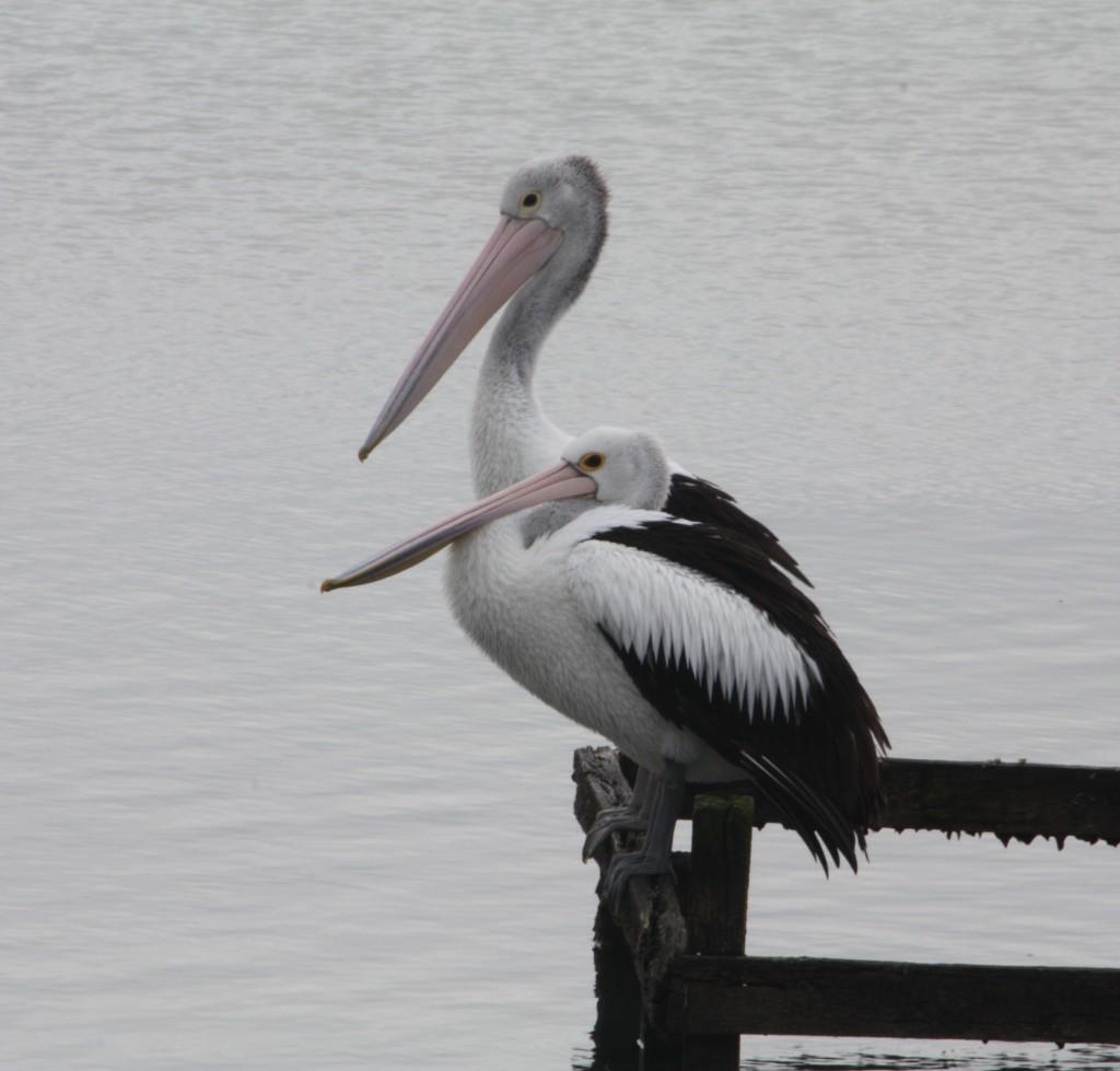 2 pelicans